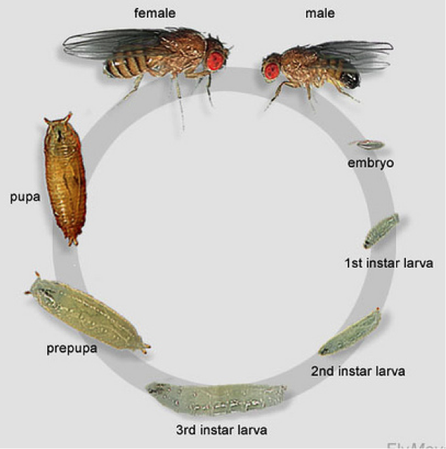 mendelian genetics drosophila lab essay mendelian genetics