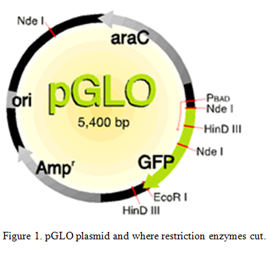 pGLO plasmid restrictino enzymes