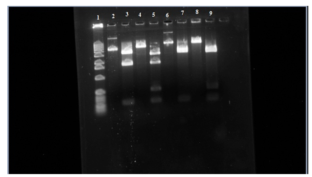 plasmid gel 2